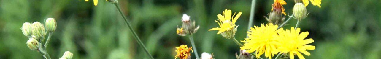 Pippau > Crepis biennis